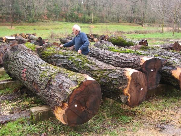 Selecting walnut tree trunks