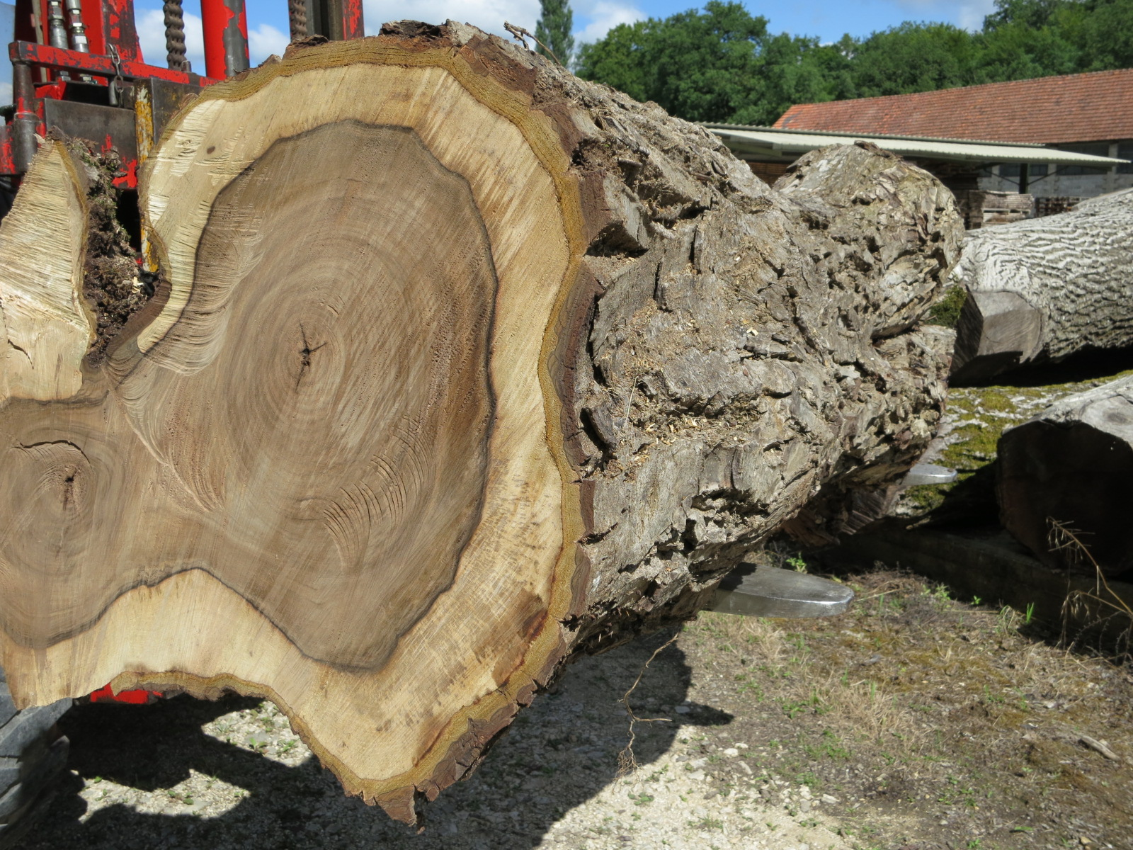 Trunk of common walnut (regia)