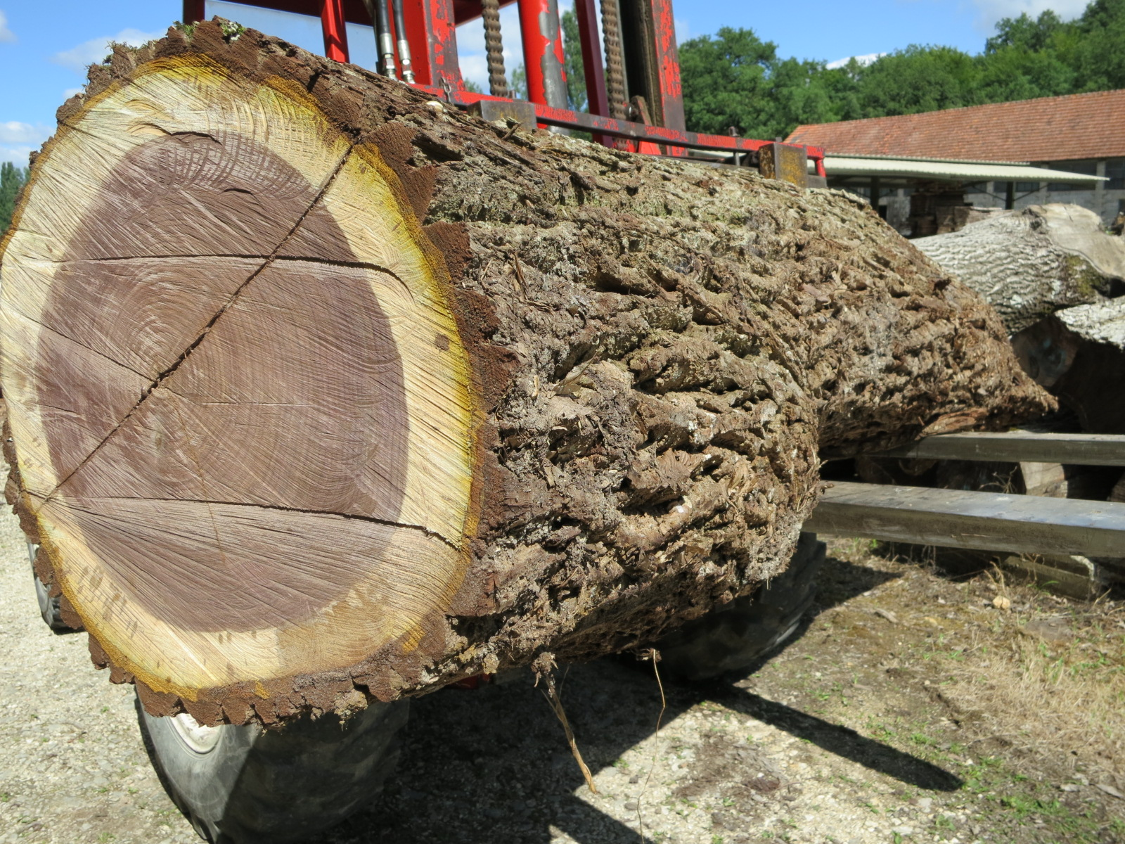 A black walnut trunk (nigra or black American)