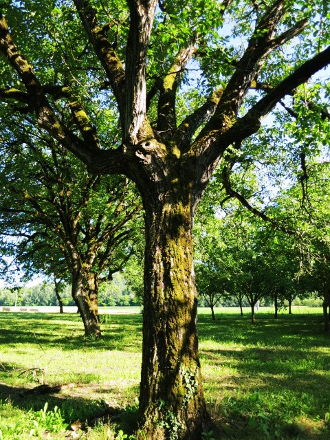 An old Périgord walnut tree